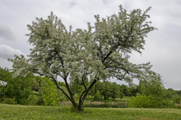 20 árboles ornamentales - Sauce plateado