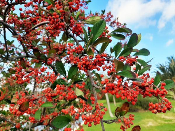 20 árboles ornamentales - Serbal de los cazadores o azarollo