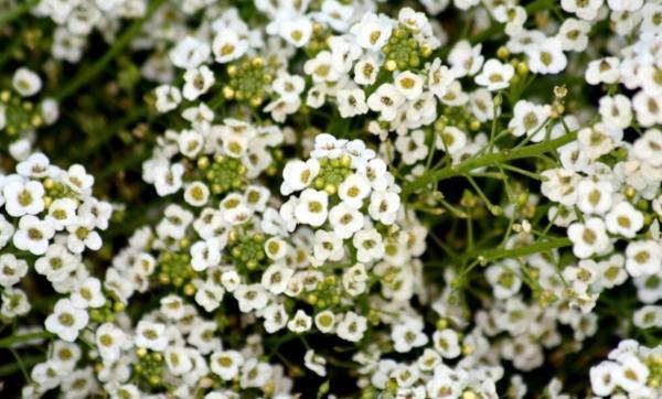 22 flores de primavera - Aliso