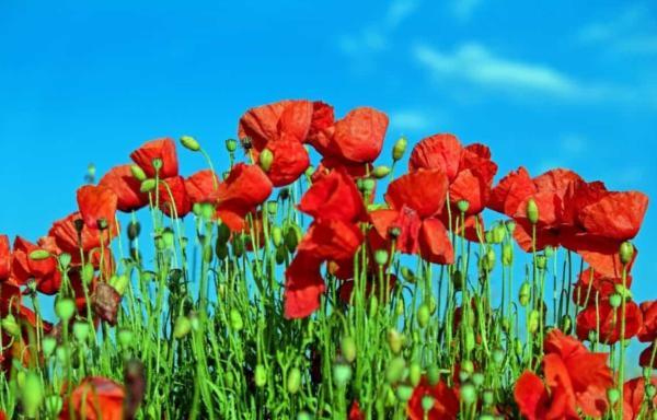 22 flores de primavera - Amapola