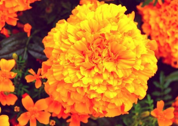 22 flores de primavera - Clavel del moro