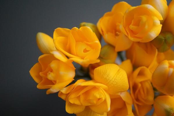 +20 plantas con flores amarillas - Fresias amarillas, unas flores muy olorosas