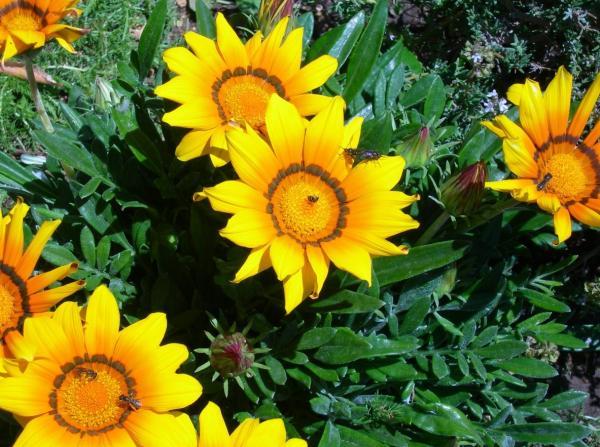 +20 plantas con flores amarillas - Gazania