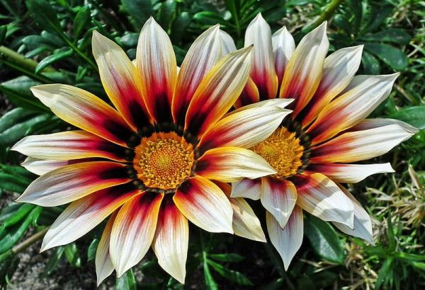 22 flores de primavera - Gazania