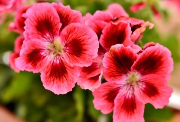 22 flores de primavera - Geranio
