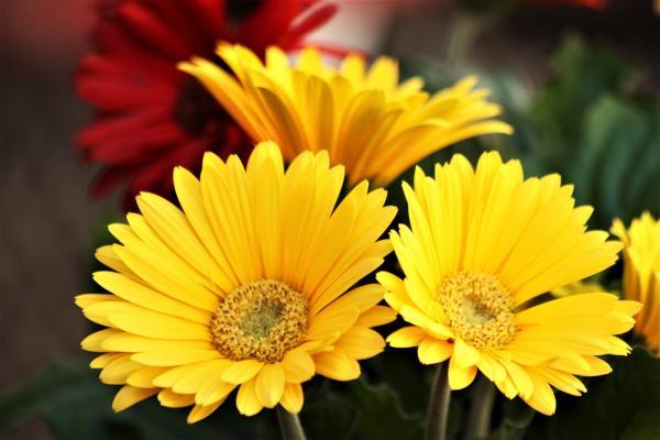 +20 plantas con flores amarillas - Gerbera, una de las plantas con flores amarillas poco conocidas