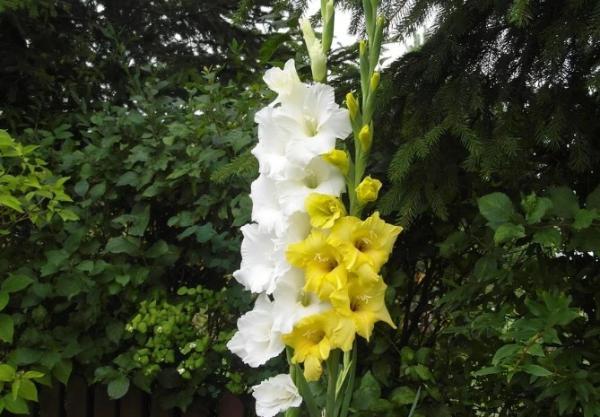 +20 plantas con flores amarillas - Gladiolos amarillos