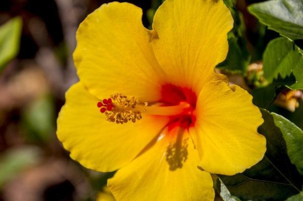 +20 plantas con flores amarillas - Hibisco o flor de Jamaica amarilla