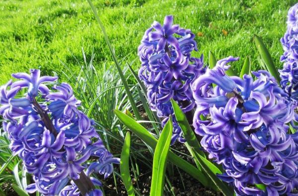 22 flores de primavera - Jacinto