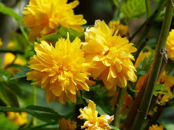 +20 plantas con flores amarillas - Kerria, una de las flores amarillas japonesas