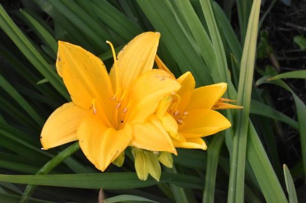 +20 plantas con flores amarillas - Lirio amarillo