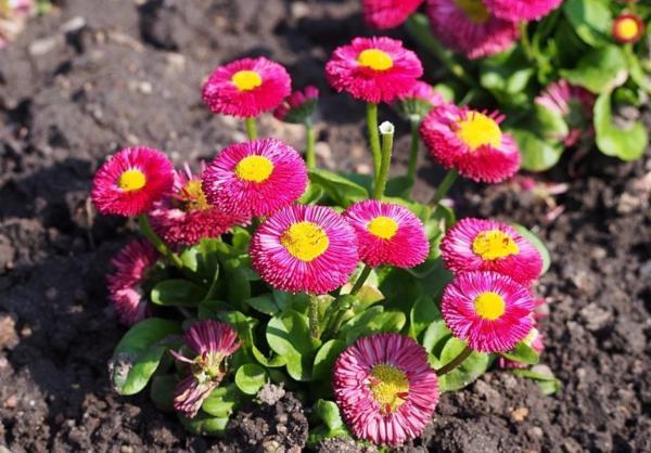 22 flores de primavera - Margarita menor