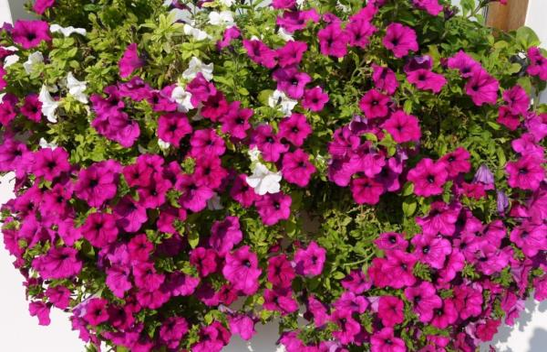 22 flores de primavera - Petunia