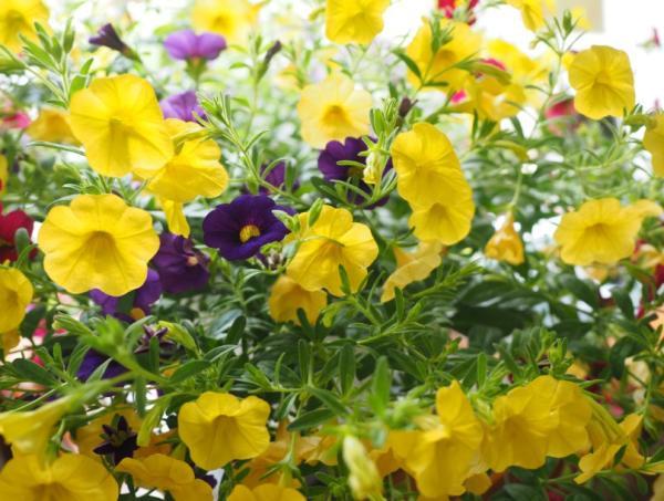 +20 plantas con flores amarillas - Petunia calibrachoa amarilla