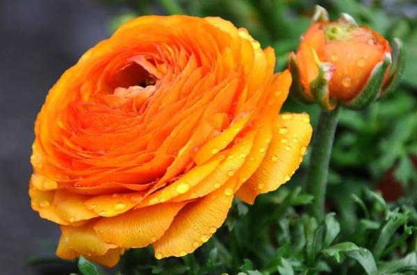 22 flores de primavera - Ranúnculo