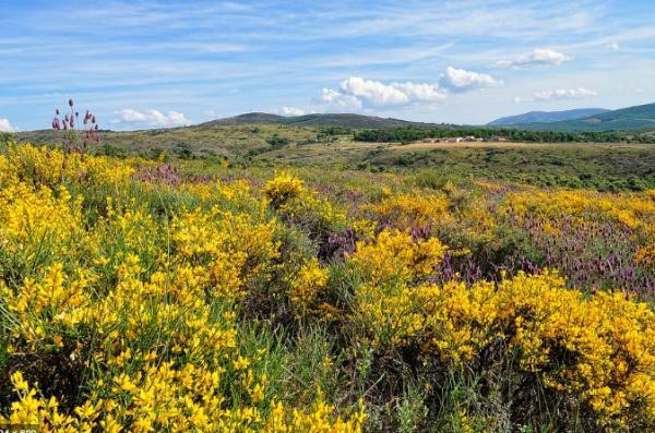 +20 plantas con flores amarillas - Retama
