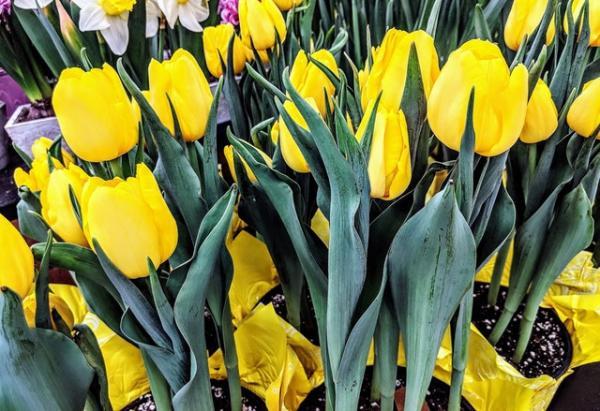 +20 plantas con flores amarillas - Tulipanes amarillos