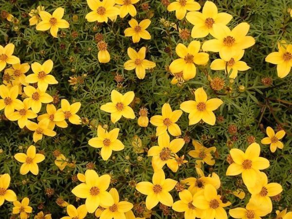 +20 plantas con flores amarillas - Verbena amarilla