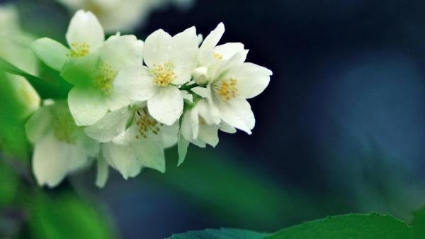 Cómo cuidar tu planta de jazmín en tu jardín