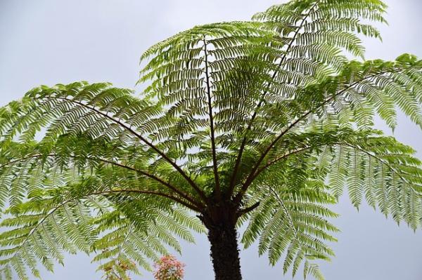 Tipos de helechos - Cythea o helecho arborescente