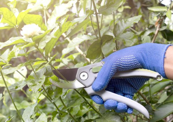 Cómo cuidar tu planta de jazmín en tu jardín - Poda del jazmín