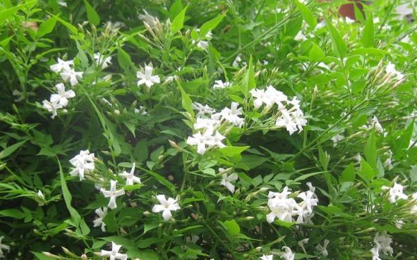 Cómo cuidar tu planta de jazmín en tu jardín - Riego de la planta jazmín