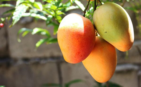 Germinar y plantar un mango: cómo y cuándo hacerlo - Cuidados del mango - guía básica