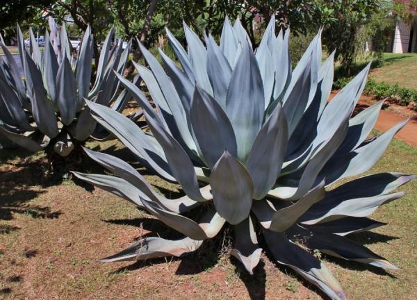 Plantas de exterior fáciles de cuidar - Agave