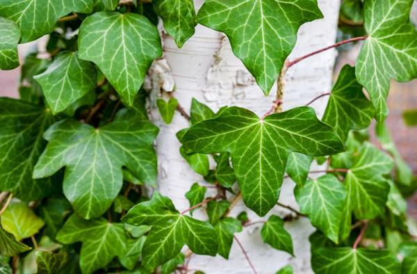 Plantas de exterior fáciles de cuidar - Hiedra