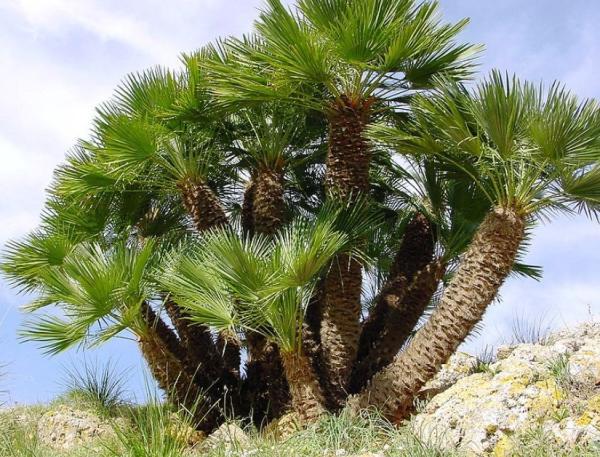 Plantas de exterior fáciles de cuidar - Palmito