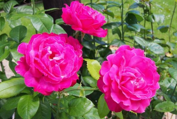 Plantas de exterior fáciles de cuidar - Rosal