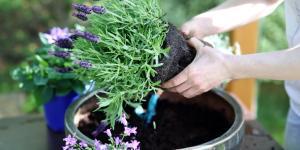 Cómo plantar lavanda