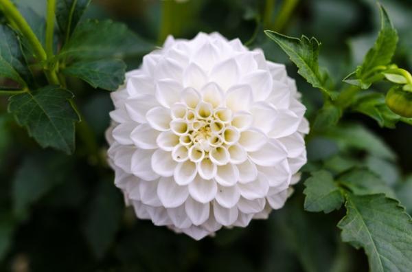 Cuidados y cultivo de los crisantemos - Cómo es la planta del crisantemo