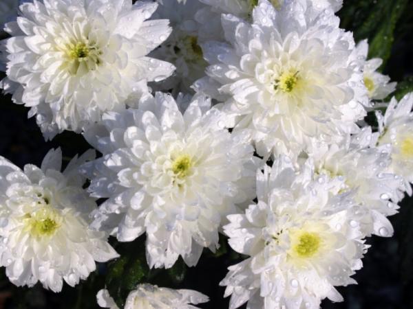 Cuidados y cultivo de los crisantemos - Cuál es el significado del crisantemo