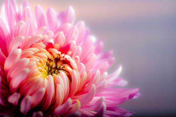 Cuidados y cultivo de los crisantemos