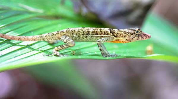 Animales en peligro de extinción en Nicaragua - Lagartija Anolis (Norops humilis)