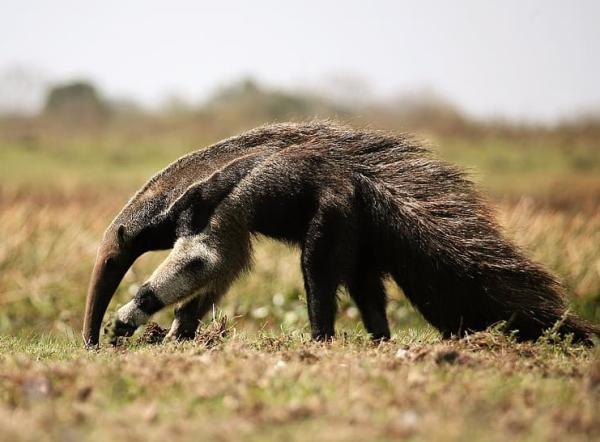 Animales en peligro de extinción en Nicaragua - Oso hormiguero gigante (Myrmecophaga tridactyla)