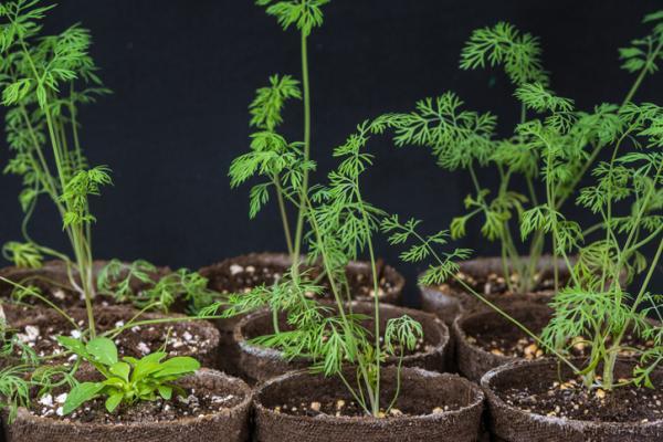 Plantas aromáticas de interior - Eneldo