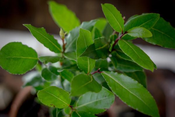 Plantas aromáticas de interior - Laurel