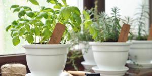 Plantas aromáticas de interior