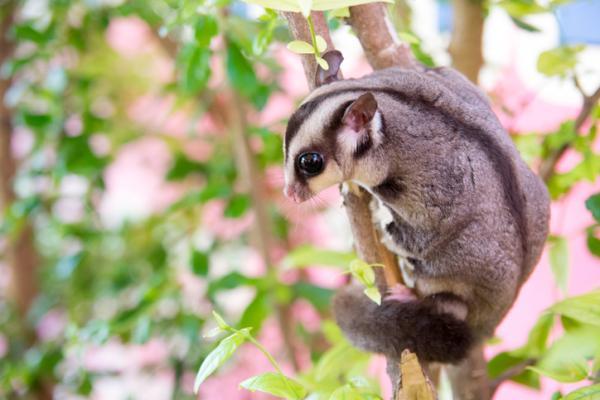 Los 10 animales más raros de Australia - Petauro del azúcar