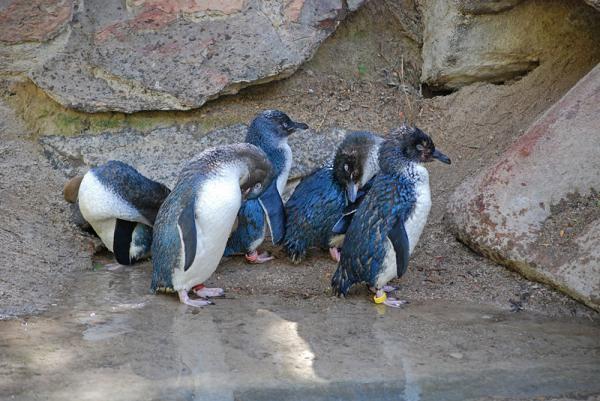 Los 10 animales más raros de Australia - Pingüinos azules, unos pequeños animales raros australianos