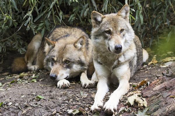 Por qué está en peligro de extinción el lobo gris mexicano - Cómo ayudar al lobo gris mexicano - medidas