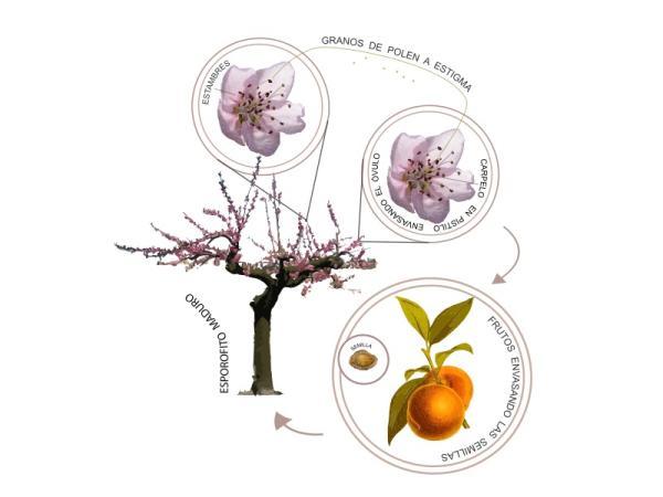 El ciclo de vida de las plantas - El ciclo de vida de las plantas con reproducción sexual - cómo crecen