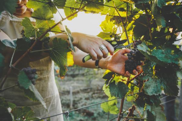 Podar una parra: cómo hacerlo y en qué época - Cuándo se recogen las uvas
