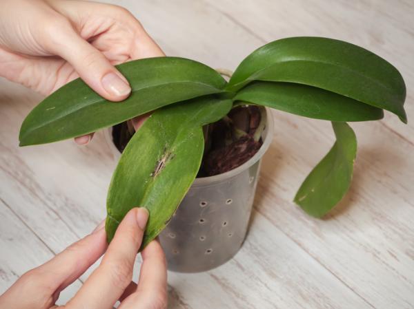 Orquídeas con hojas amarillas: causas y cómo curarlas - Orquídeas con hojas amarillas causadas por una enfermedad