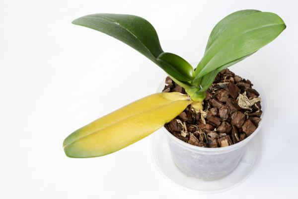 Orquídeas con hojas amarillas: causas y cómo curarlas