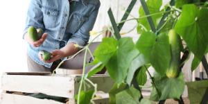 Pepinos: cómo sembrar y cultivar