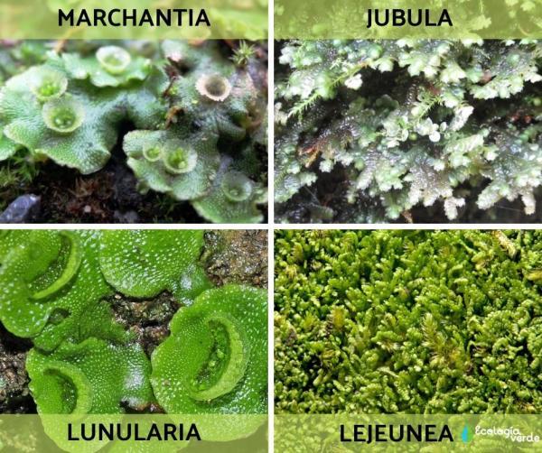 Plantas Hepáticas Qué Son Características Tipos Y Ejemplos