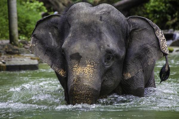 Dónde viven los elefantes y de qué se alimentan - Características de los elefantes